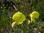 Large-flowered Evening-primrose (Oenothera glazioviana)